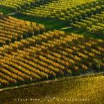 Filari di vigna in autunno