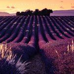 i campi di lavanda della provenza al tramonto, Valensole