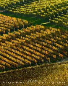 Geometrie dei filari di vigna in autunno